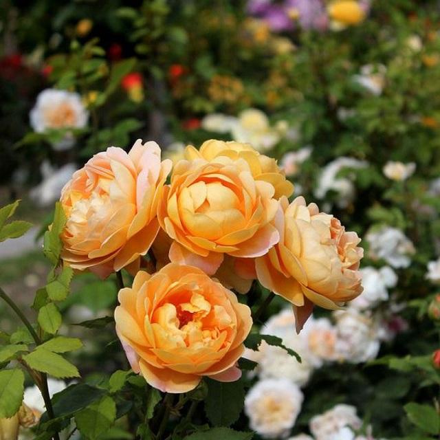 Парковая роза Голден