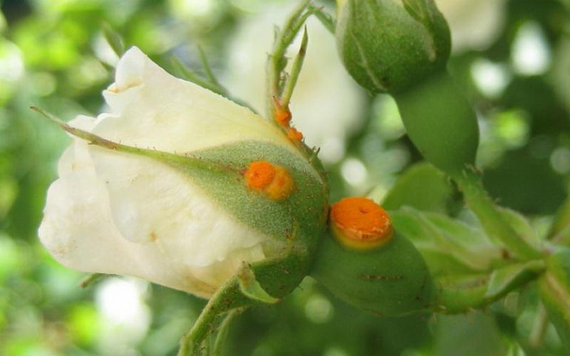 Ржавчина роз: фото и лечение при борьбе с болезнью