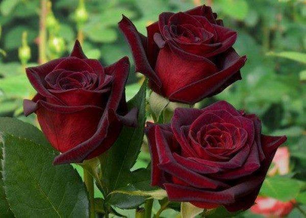 Роза Блэк Баккара считается самой черной розой