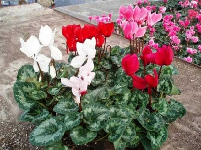 Цикламен садовый (неаполитанский)