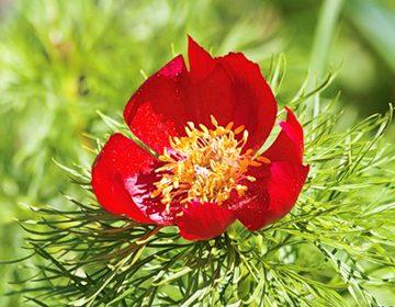 Лечебные свойства пиона уклоняющегося, его заготовка и применение (марьин корень)