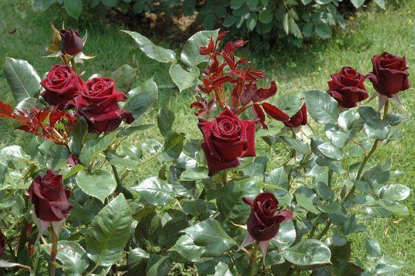 Поливают розу теплой отстоянной водой