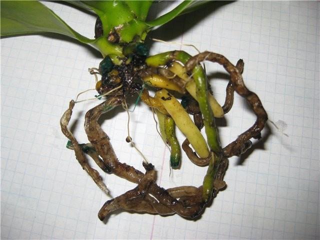 Почему темнеют листья у орхидеи