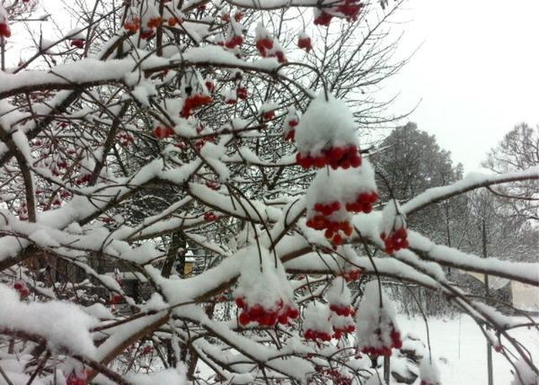 Накопление снега и льда на ветках чревато последствиями