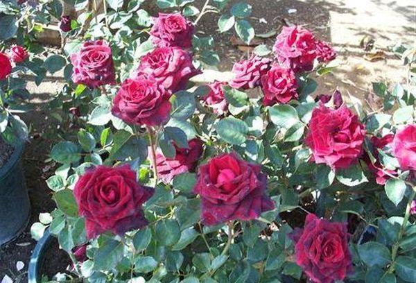 Высаживают черную розу ранней осенью