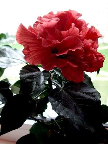 Почему у розы отпадают бутоны