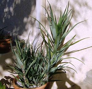 Алоэ - это одно из самых неприхотливых растений