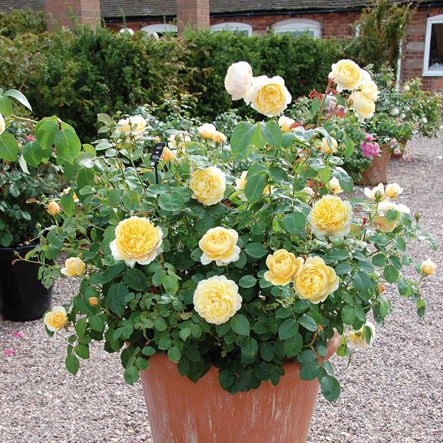 Сорт розы