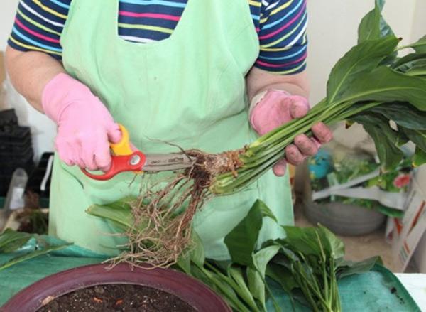 обрезка подгнивших корней антуриума при пересадки фото