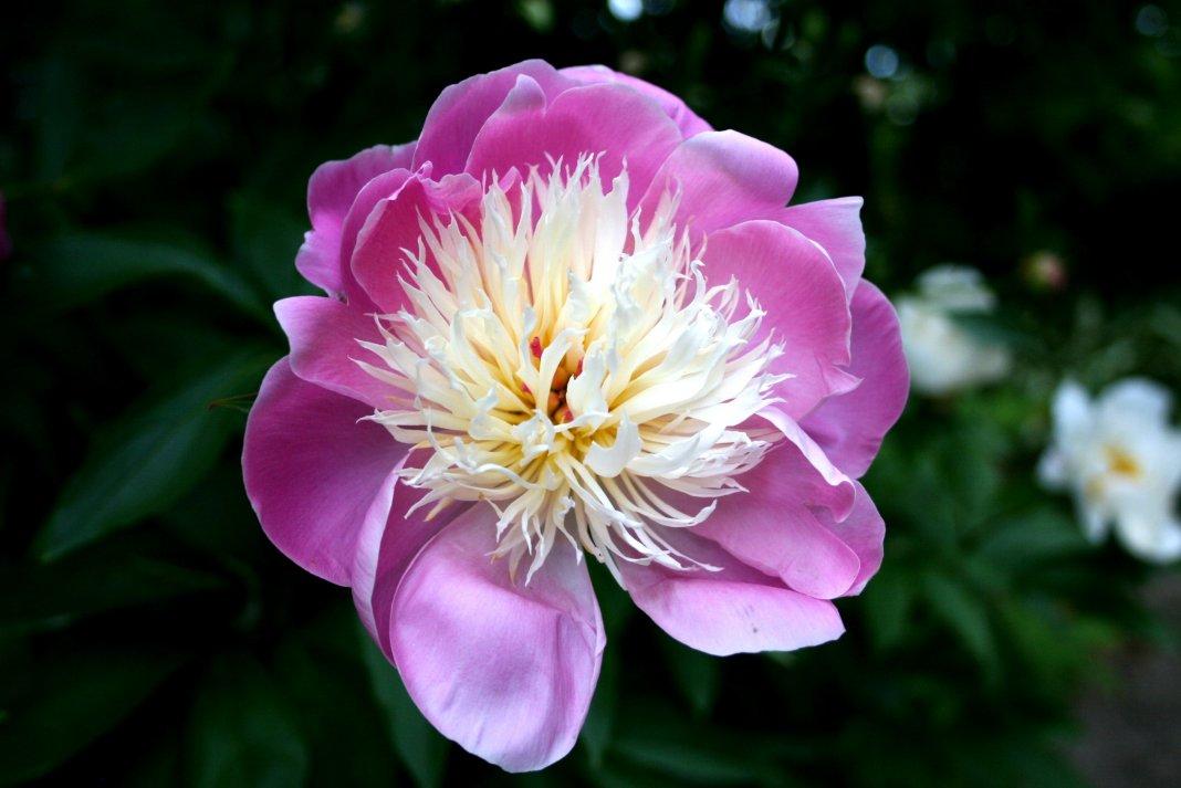 Пион травянистый «Боул оф Бьюти» (Paeonia 'Bowl of Beauty'). Форма цветка анемоновидная