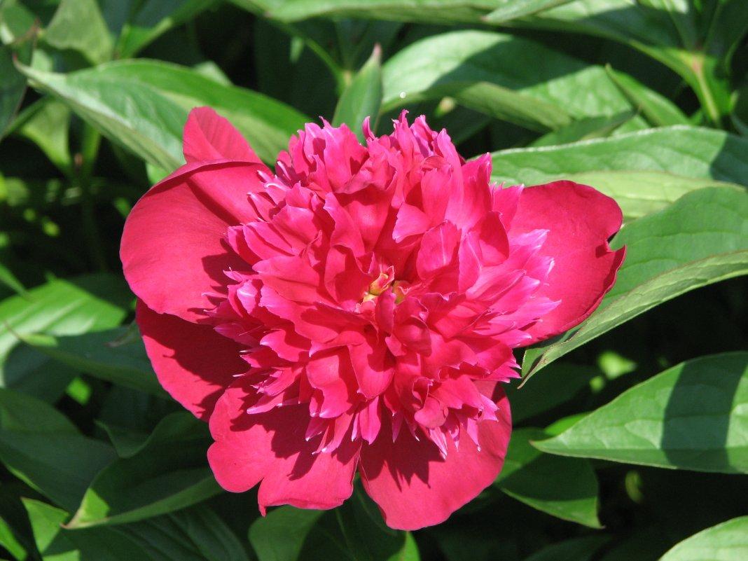 Пион травянистый «Рут Клэй» (Paeonia 'Ruth Clay'). Форма цветка махровая корончатая