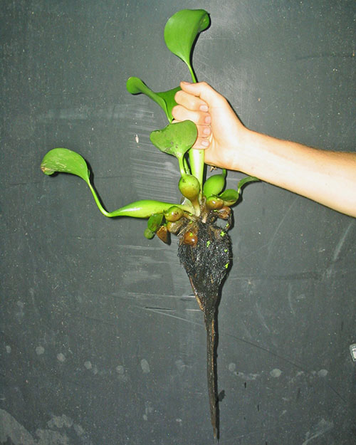 Так выглядит растение водный гиацинт