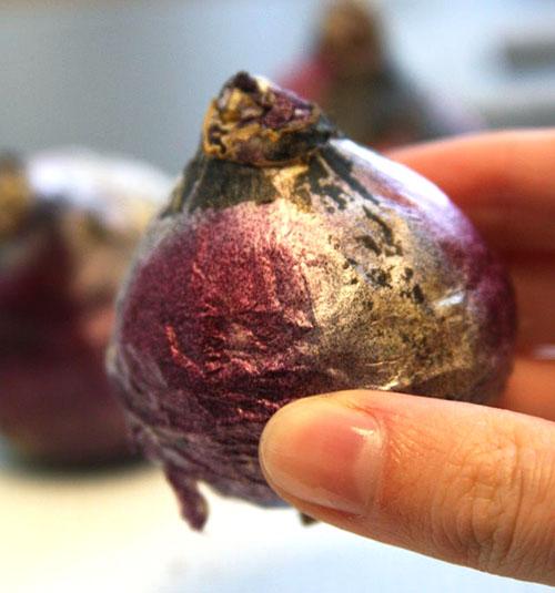 Выкопанная луковица гиацинта