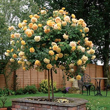 Достоинства розы Golden Celebration