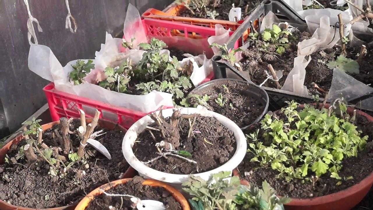 Зимовка декоративных растений в различных емкостях