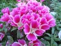 Цветы годеция
