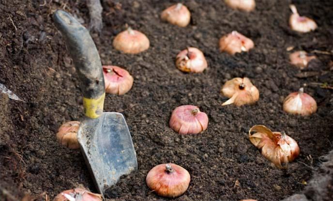 Посадка луковиц нарциссов в весенний период производится исключительно в уже полностью оттаявшую и немного прогретую землю