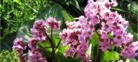Лечебные свойства бадана и его противопоказания