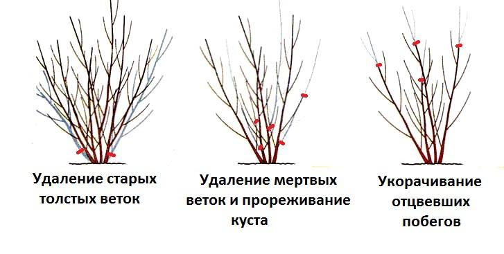 Схема осенней омолаживающей обрезки кустарника