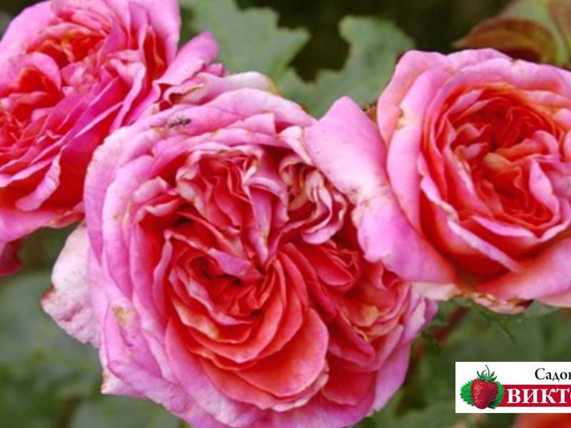 Характеристика розы Аугуста Луиза