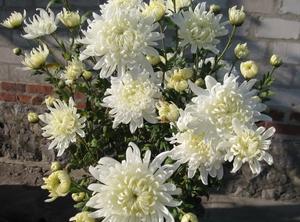 Хризантемы, цветы белые