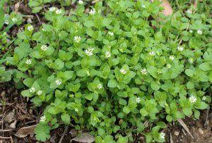 Звездчатка средняя (мокрица, канареечная трава, сердечная трава)