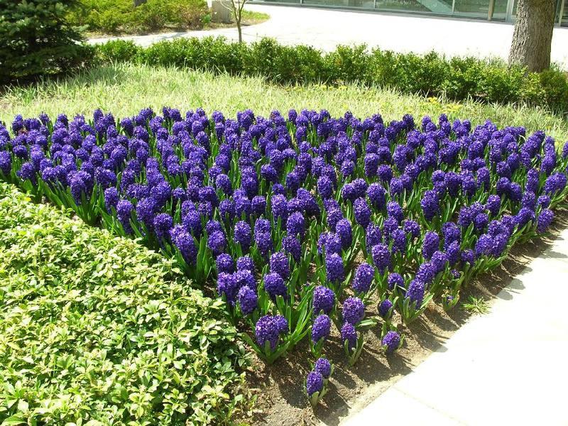 Как используются гиацинты в дизайне сада