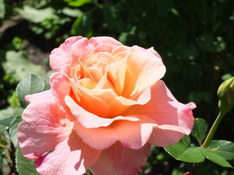 Какие осрта роз лучше приживаются