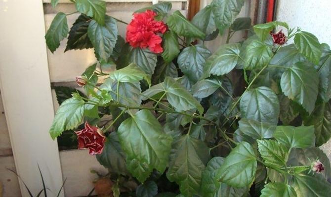 Что провоцирует болезникитайской розы?