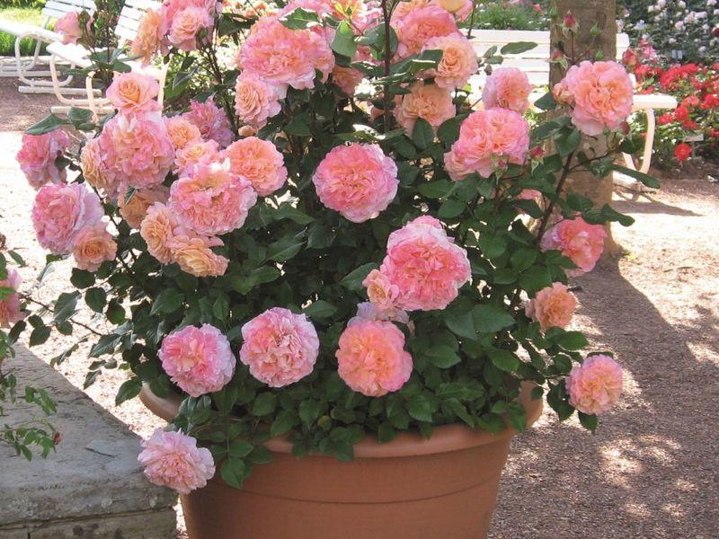 Куст розы сорта Аугуста Луиза