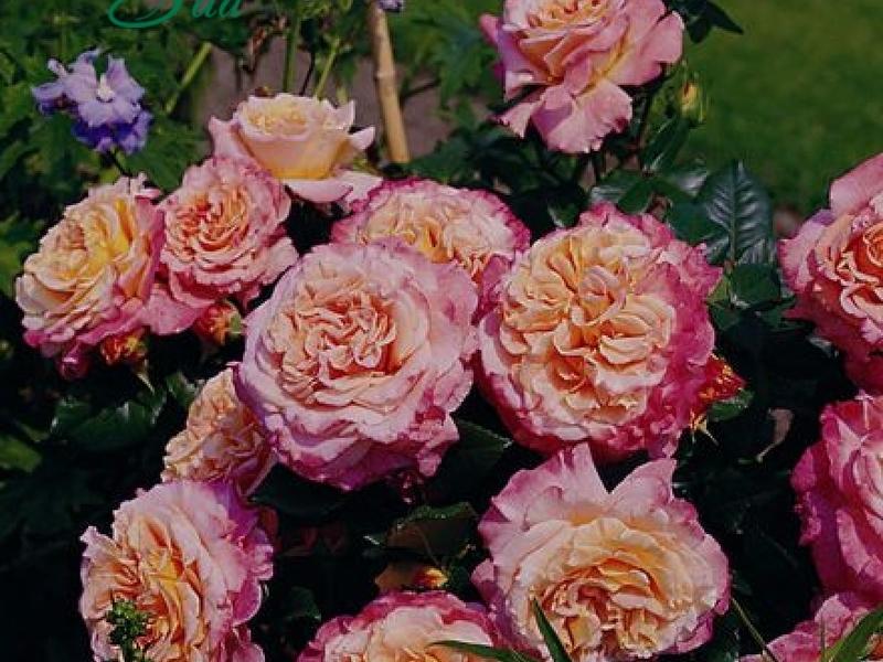 Место для посадки розы сорта Аугуста Луиза