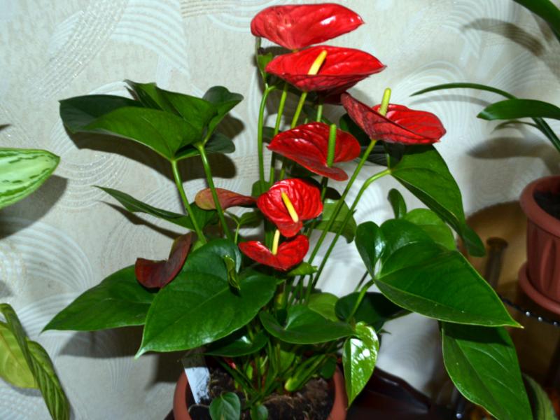 Как долго цветет антуриум