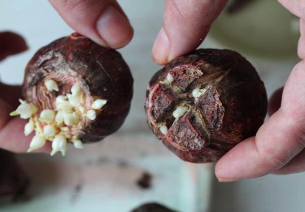 надрезание луковиц