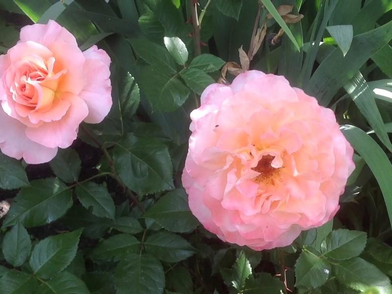 Особые условия размножения роз