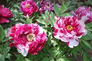 Пионы - красивые цветы