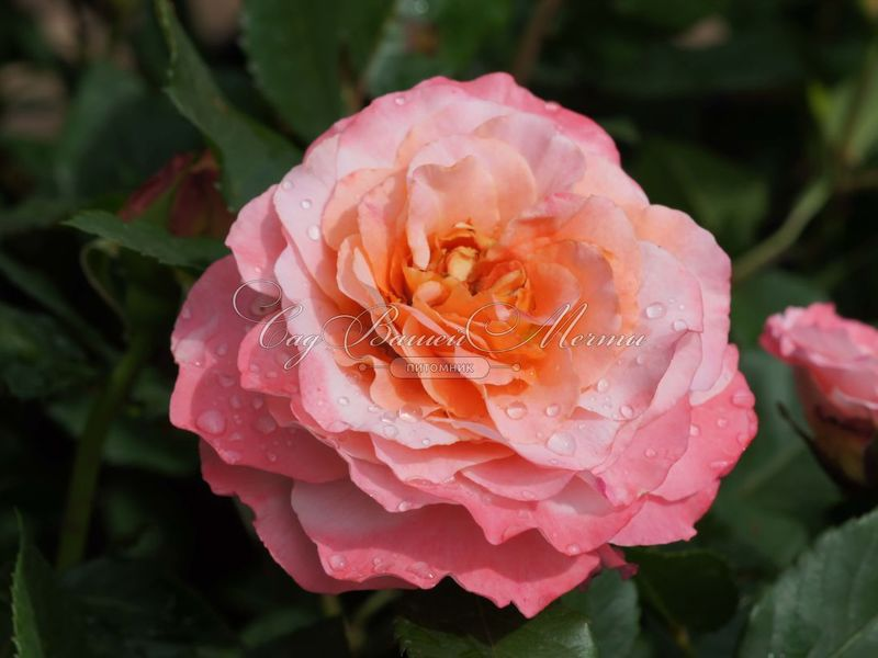 Почва и удобрения для роз