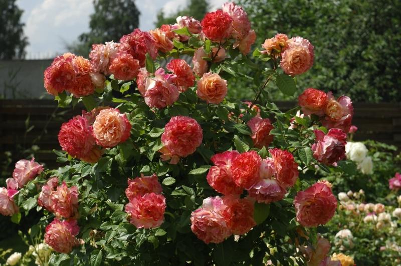 Как посадить розы сорта Аугуста Луиза