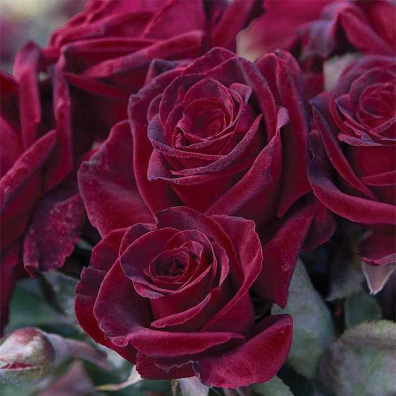 Посадка розы Блэк баккара