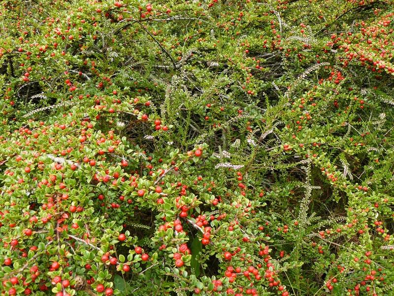 Растение кизильник