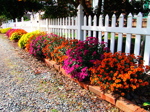 Разные сорта хризантем  на клумбе - это очень красиво.