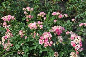 Розы на участке