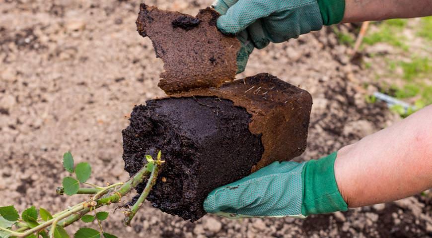При посадке саженцев с закрытой корневой системой использовать метод переваливания, позволяющий максимально сохранить земляной ком