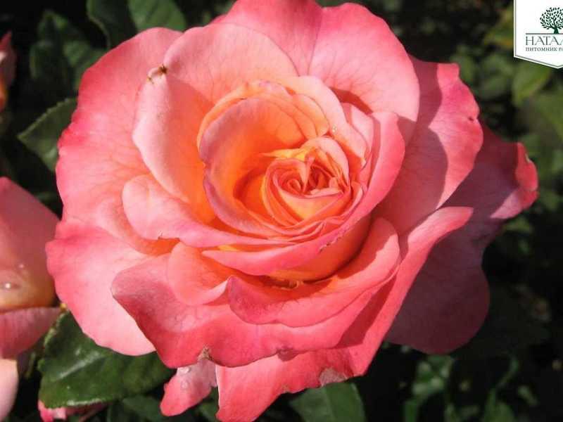 Сорт розы Аугуста Луиза