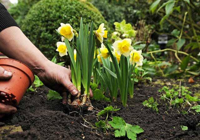Опытные цветоводы довольно часто высаживают луковицы в цветочные горшки с землей, а затем в весенний период подросшие растения помещают непосредственно в грунт