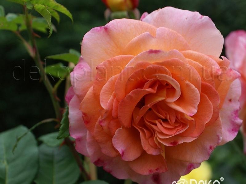 Уход за кустом розы сорта Аугуста Луиза