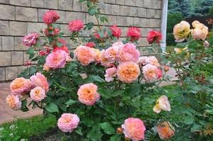 Внешний вид роз сорта Аугуста Луиза