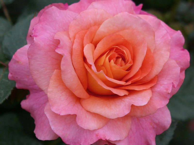 Внешний вид розы