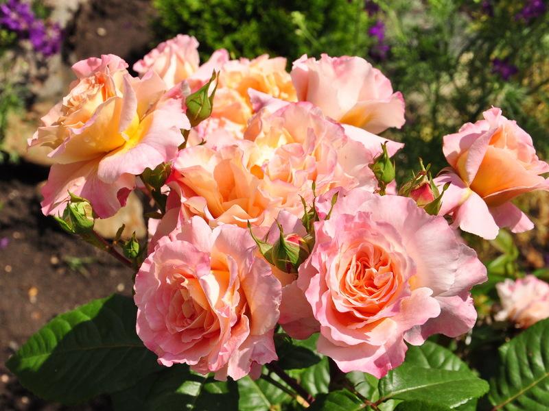 Время посадки розы Аугуста Луиза