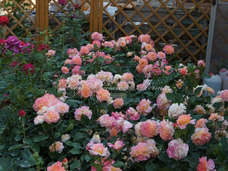 Как выглядит роза сорта Аугуста Луиза