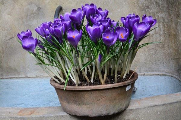расцвели крокусы к 8 марта